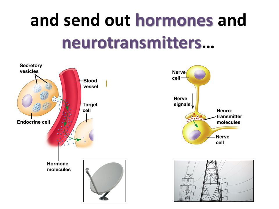 and send out hormones and neurotransmitters…