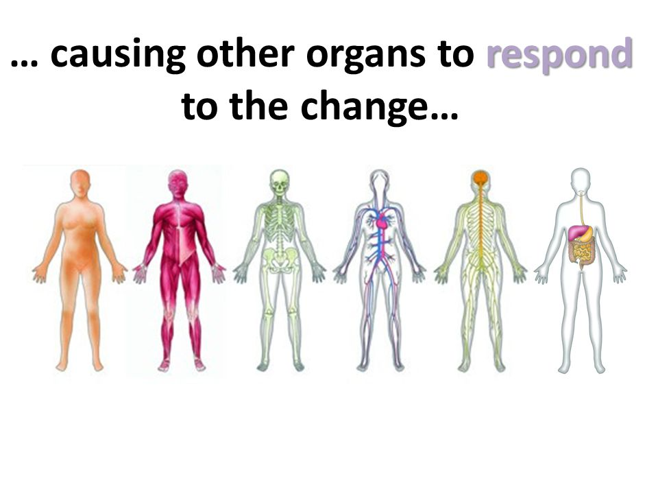 … causing other organs to respond to the change…