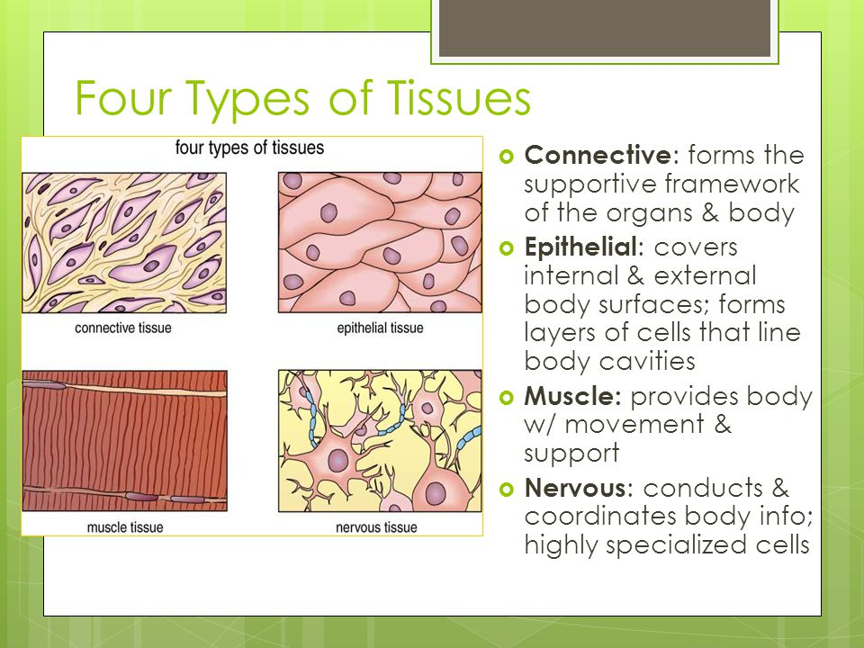 Four Types of Tissues Connective: forms the supportive framework of the organs & body.