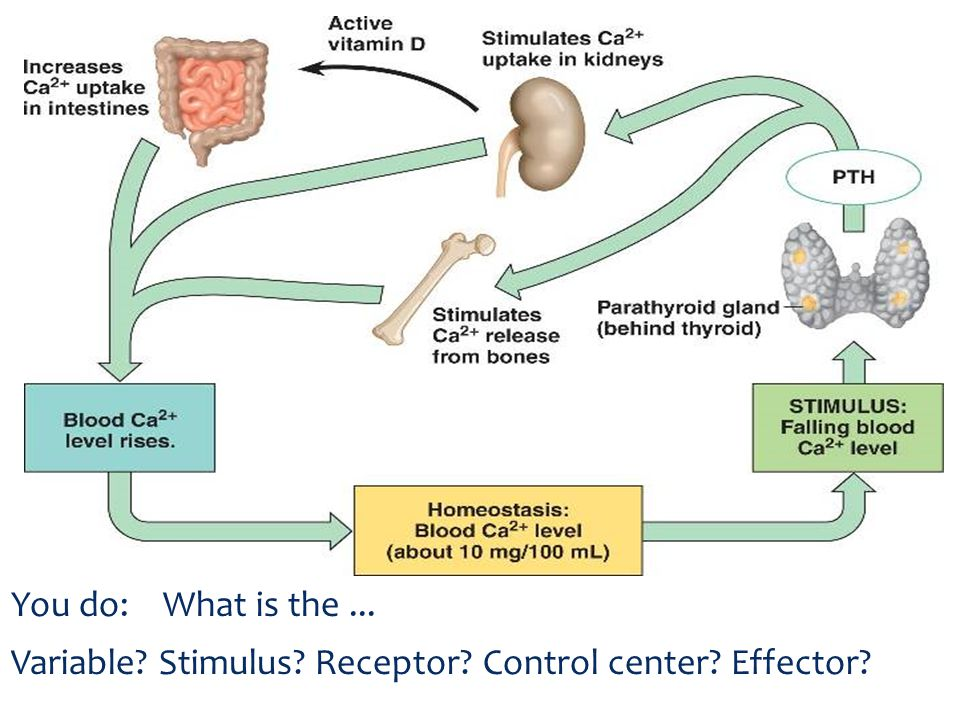 You do: What is the ... Variable Stimulus Receptor Control center Effector