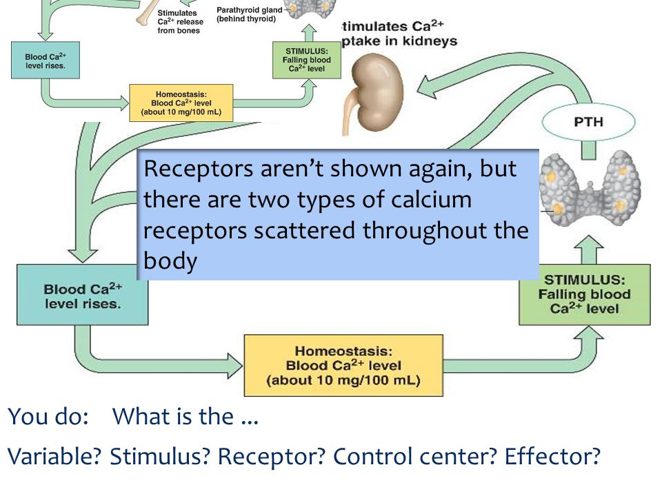 Receptors aren't shown again, but there are two types of calcium receptors scattered throughout the body