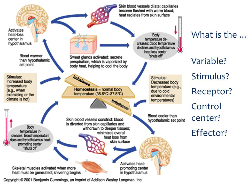 What is the ... Variable Stimulus Receptor Control center Effector