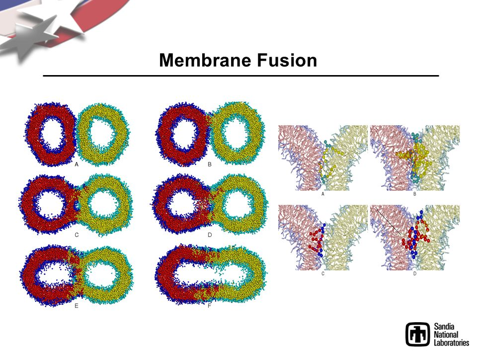 Membrane Fusion Gently push together ...