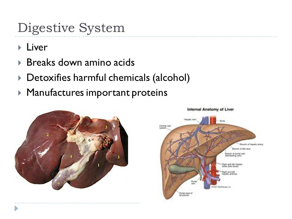 Digestive System Liver Breaks down amino acids
