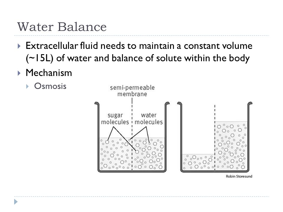 Water Balance Extracellular fluid needs to maintain a constant volume (~15L) of water and balance of solute within the body.