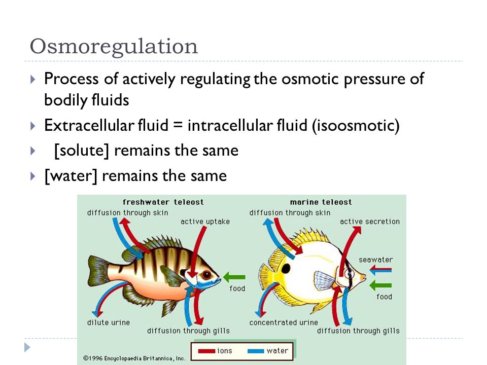 Osmoregulation Process of actively regulating the osmotic pressure of bodily fluids. Extracellular fluid = intracellular fluid (isoosmotic)