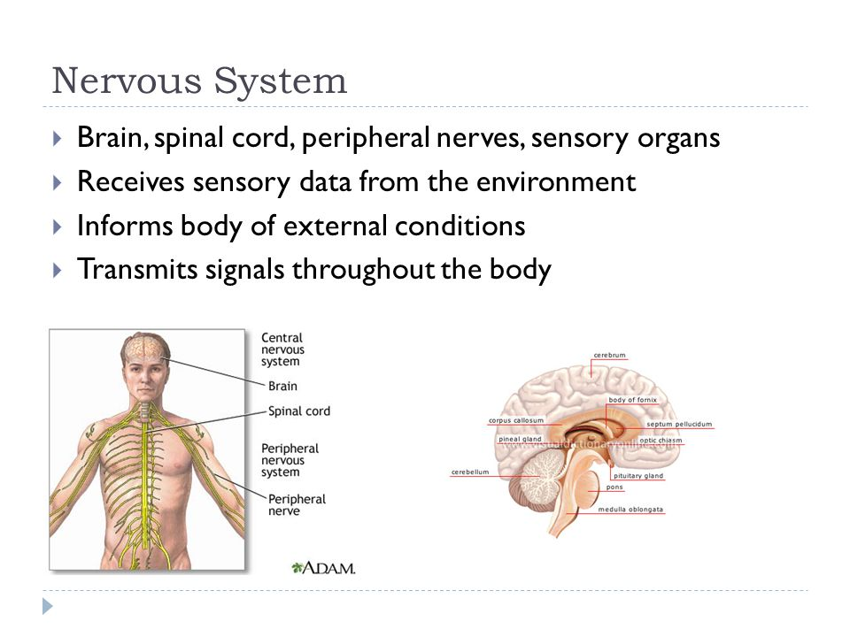 Nervous System Brain, spinal cord, peripheral nerves, sensory organs