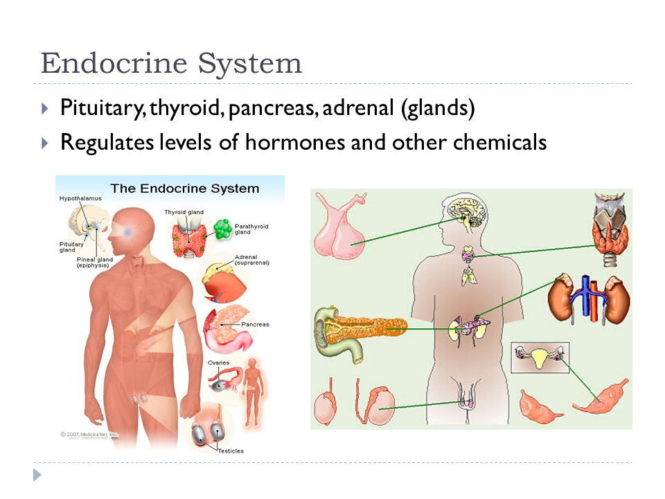 Endocrine System Pituitary, thyroid, pancreas, adrenal (glands)