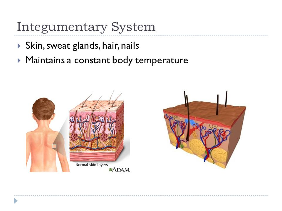 Integumentary System Skin, sweat glands, hair, nails