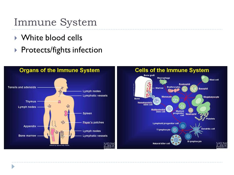 Immune System White blood cells Protects/fights infection