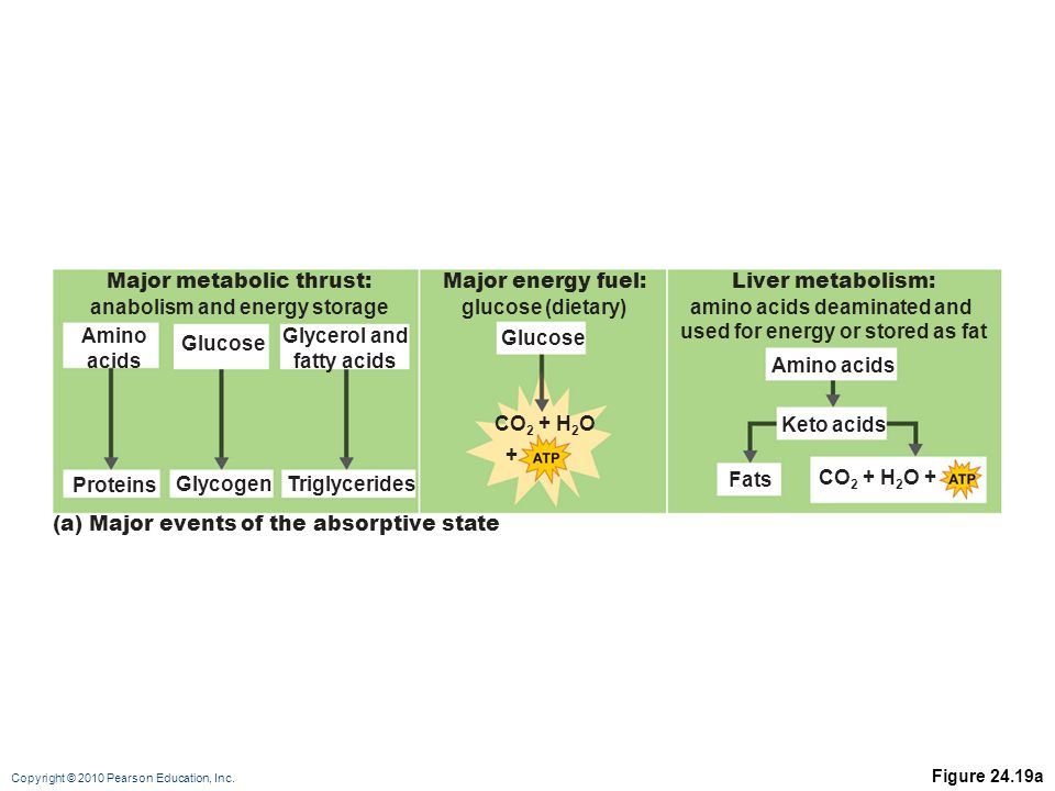 Major metabolic thrust: anabolism and energy storage