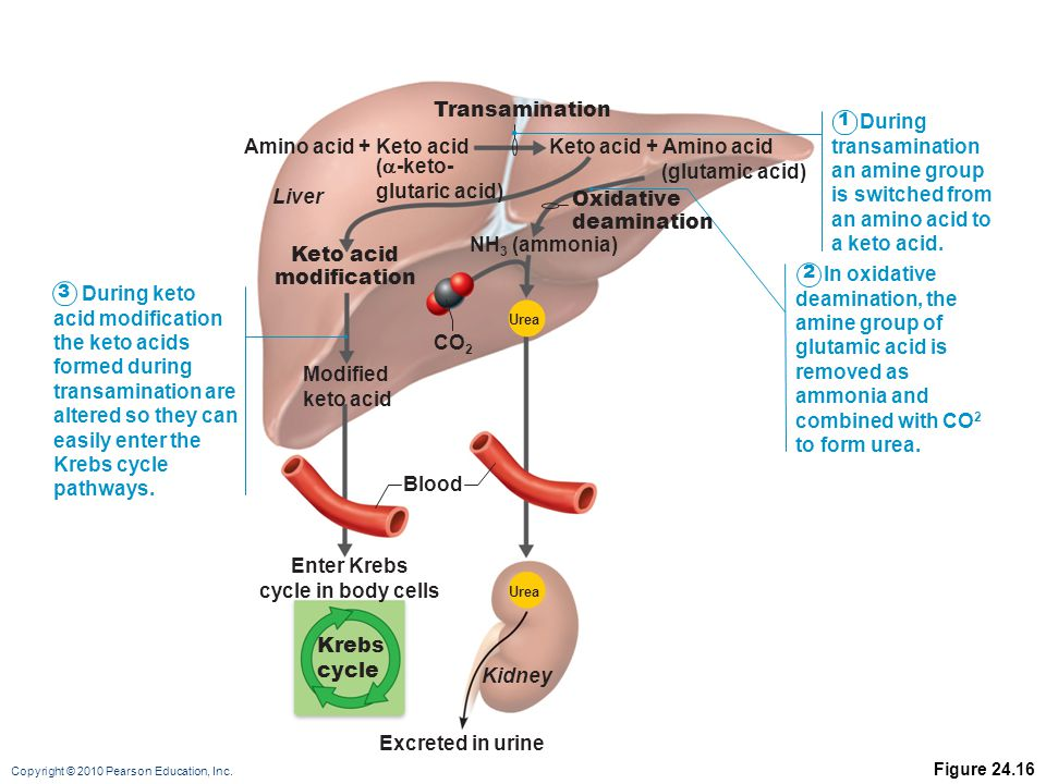 Enter Krebs cycle in body cells