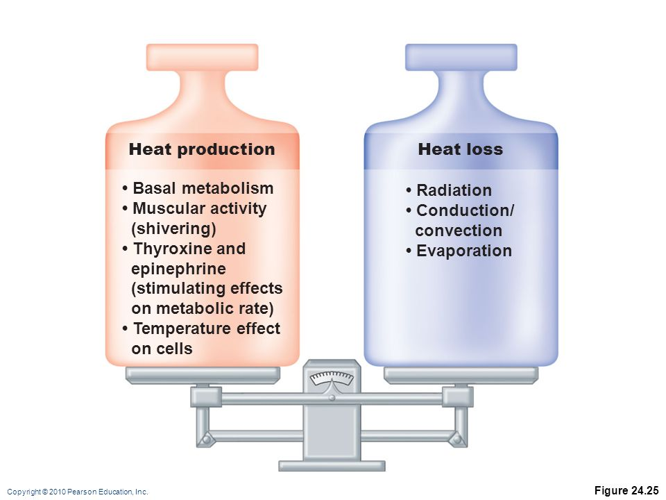 Heat production Heat loss • Basal metabolism • Muscular activity