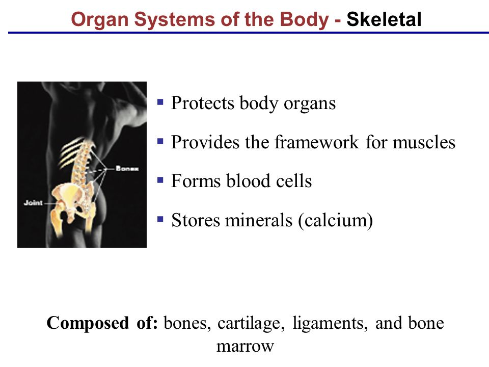 Organ Systems of the Body - Skeletal