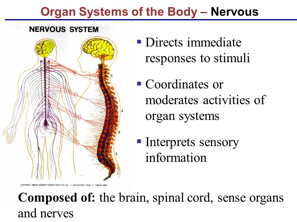 Organ Systems of the Body – Nervous