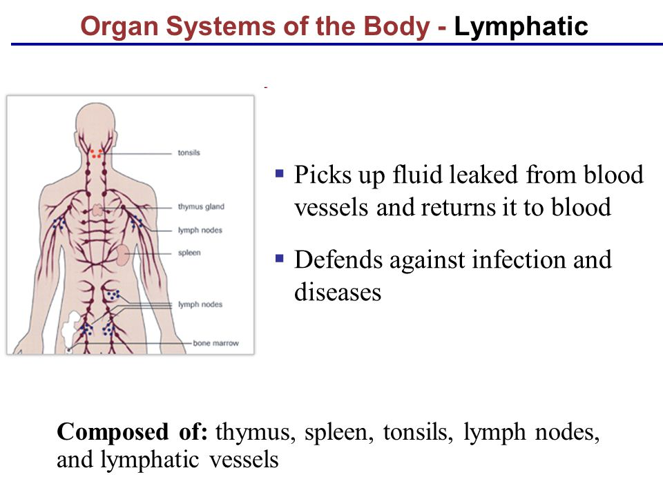 Organ Systems of the Body - Lymphatic