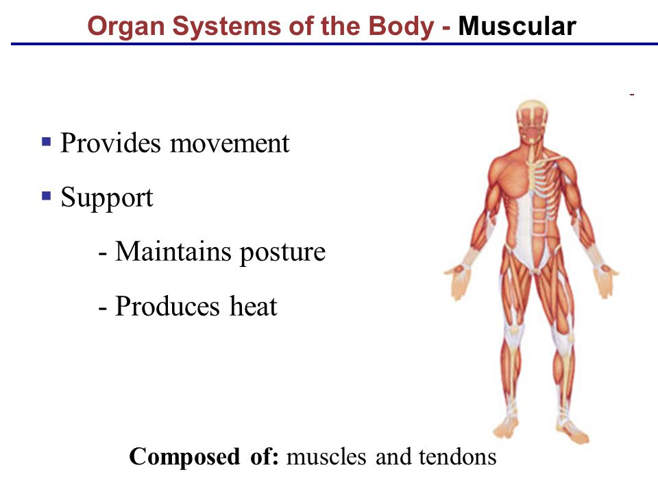 Organ Systems of the Body - Muscular