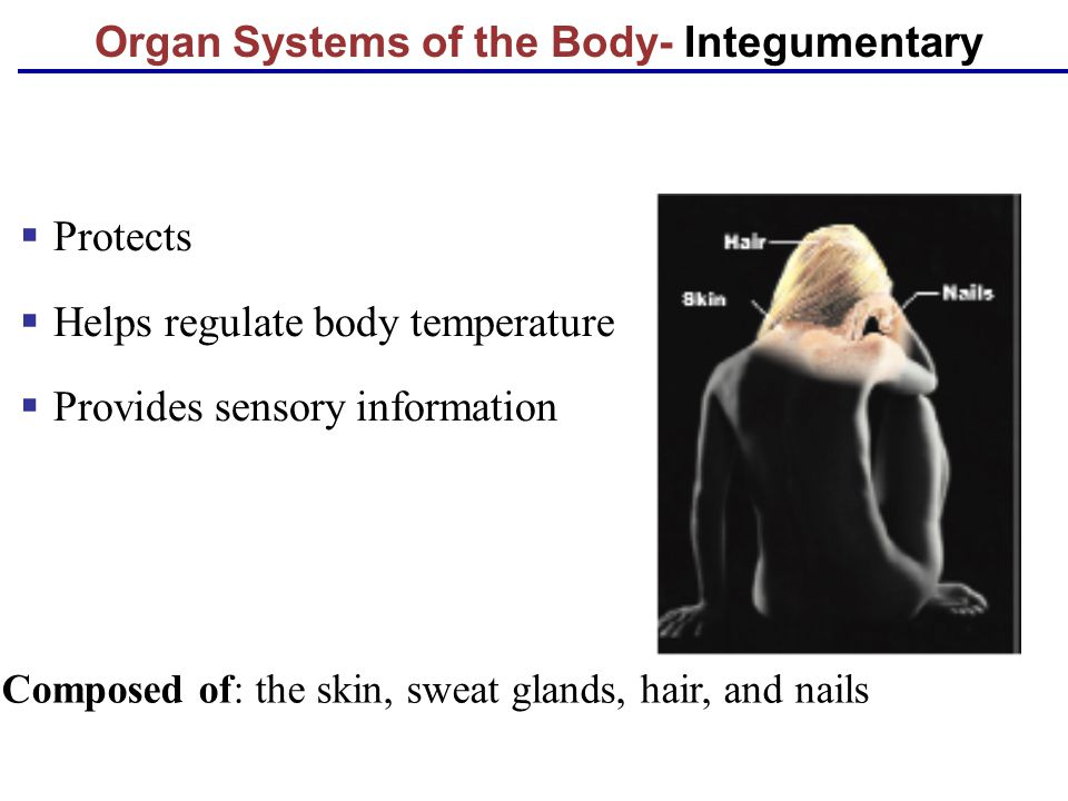 Organ Systems of the Body- Integumentary