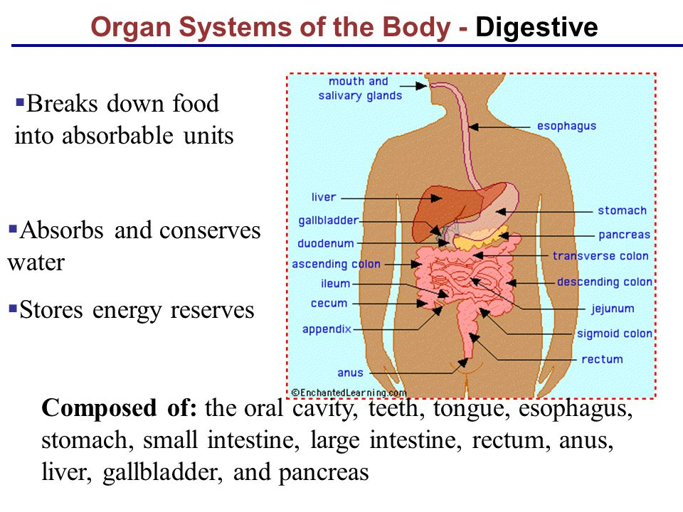 Organ Systems of the Body - Digestive