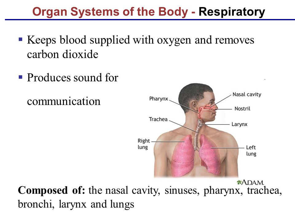 Organ Systems of the Body - Respiratory
