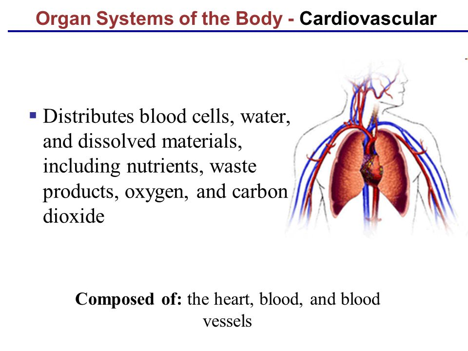 Organ Systems of the Body - Cardiovascular