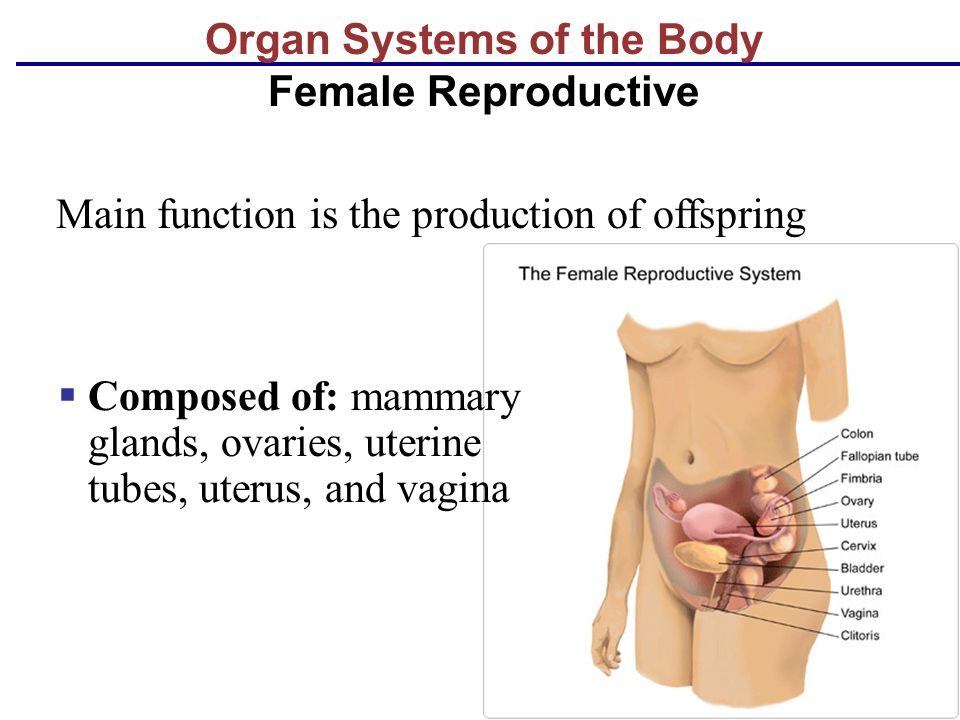 Organ Systems of the Body Female Reproductive