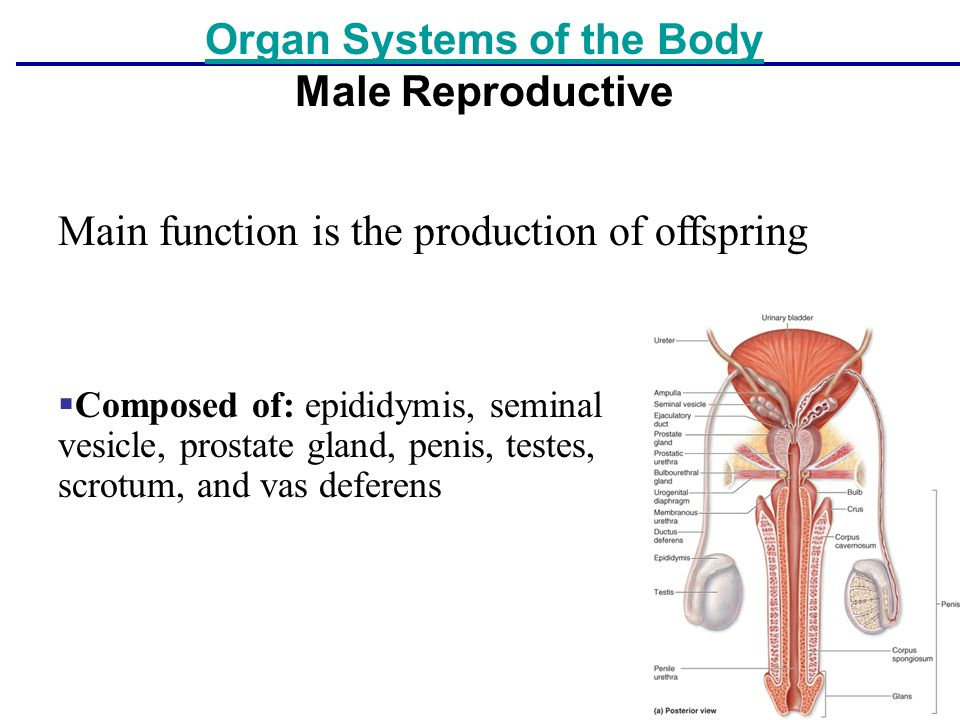 Organ Systems of the Body Male Reproductive
