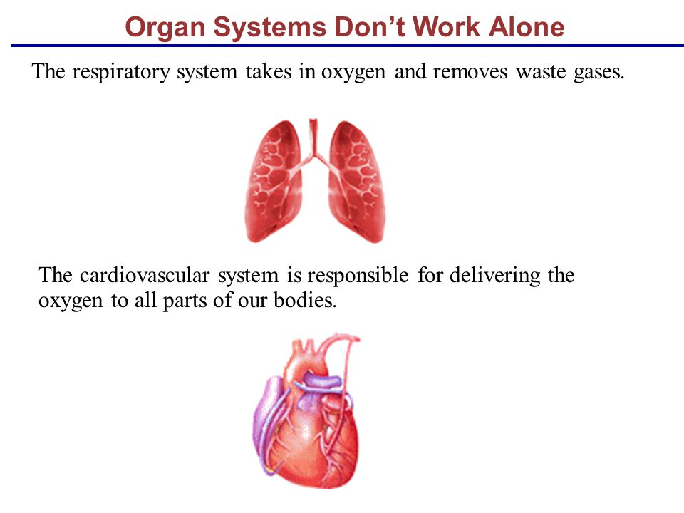 Organ Systems Don't Work Alone