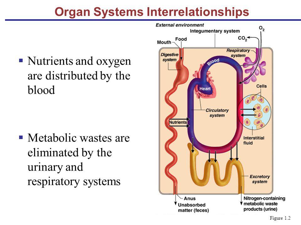 Organ Systems Interrelationships