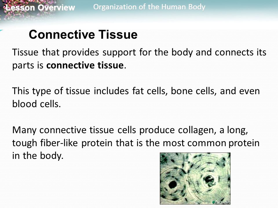Connective Tissue Tissue that provides support for the body and connects its parts is connective tissue.