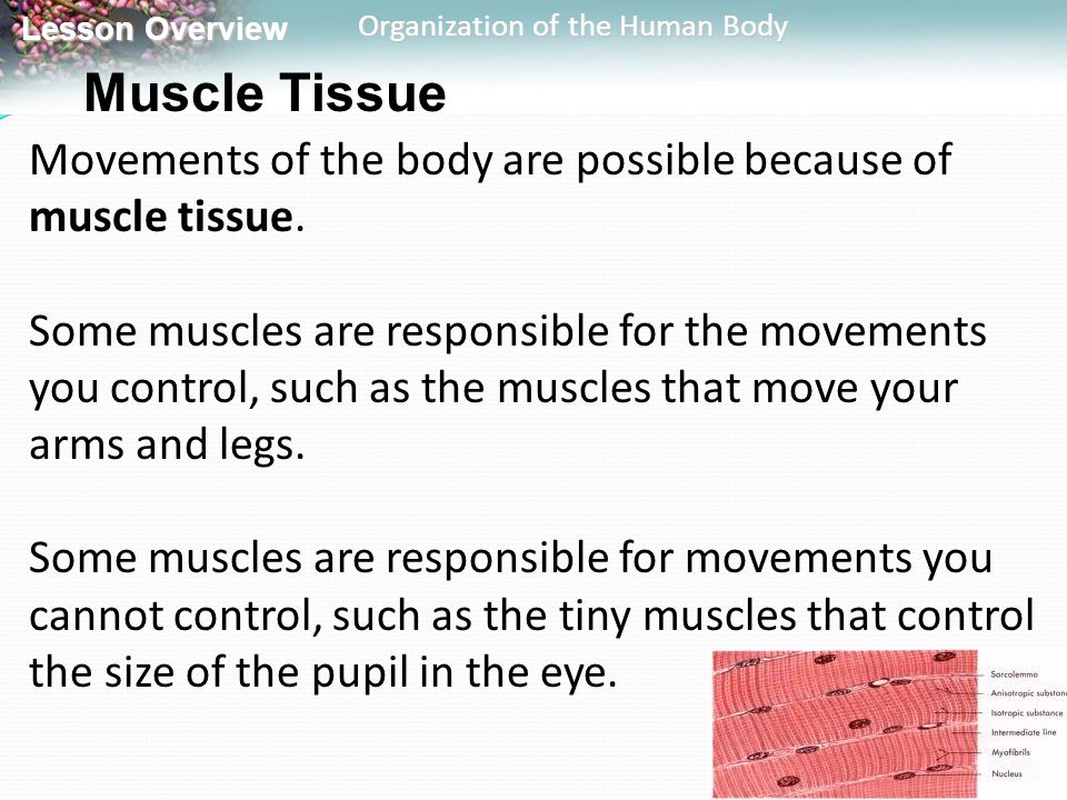 Muscle Tissue Movements of the body are possible because of muscle tissue.