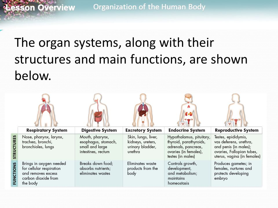 The organ systems, along with their structures and main functions, are shown below.