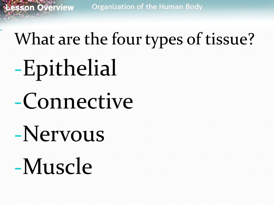 Epithelial Connective Nervous Muscle