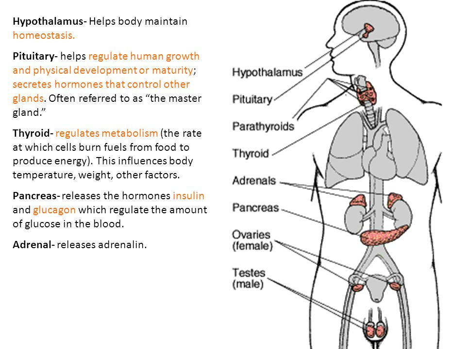Hypothalamus- Helps body maintain homeostasis.