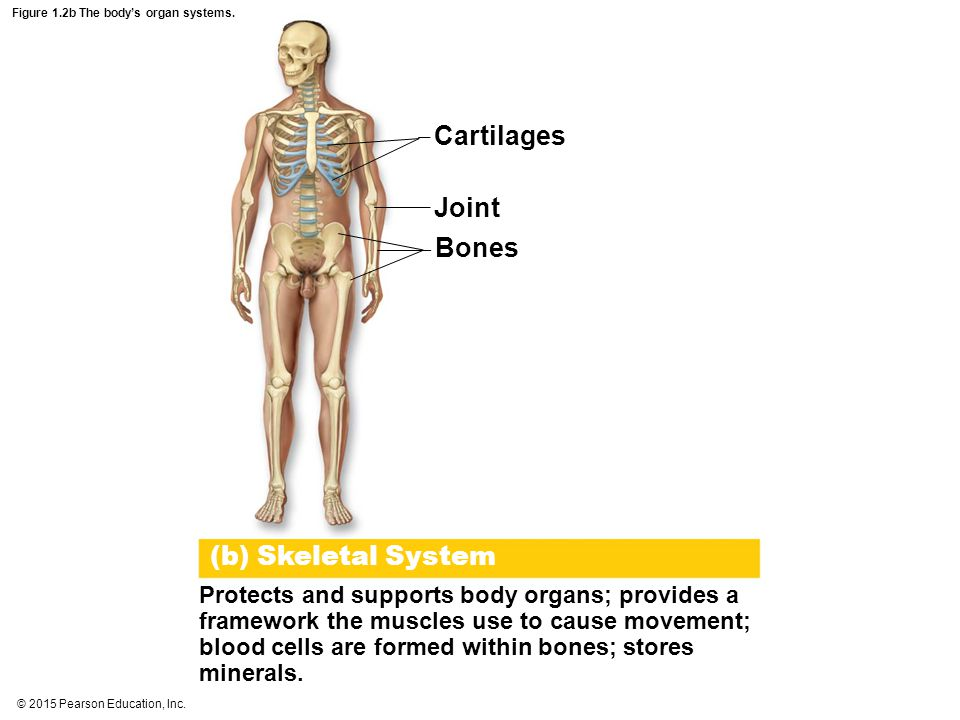 Figure 1.2b The body's organ systems.