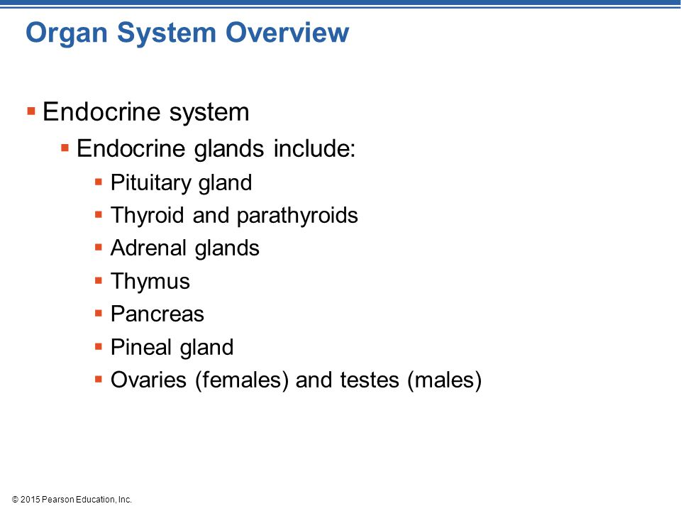 Organ System Overview Endocrine system Endocrine glands include: