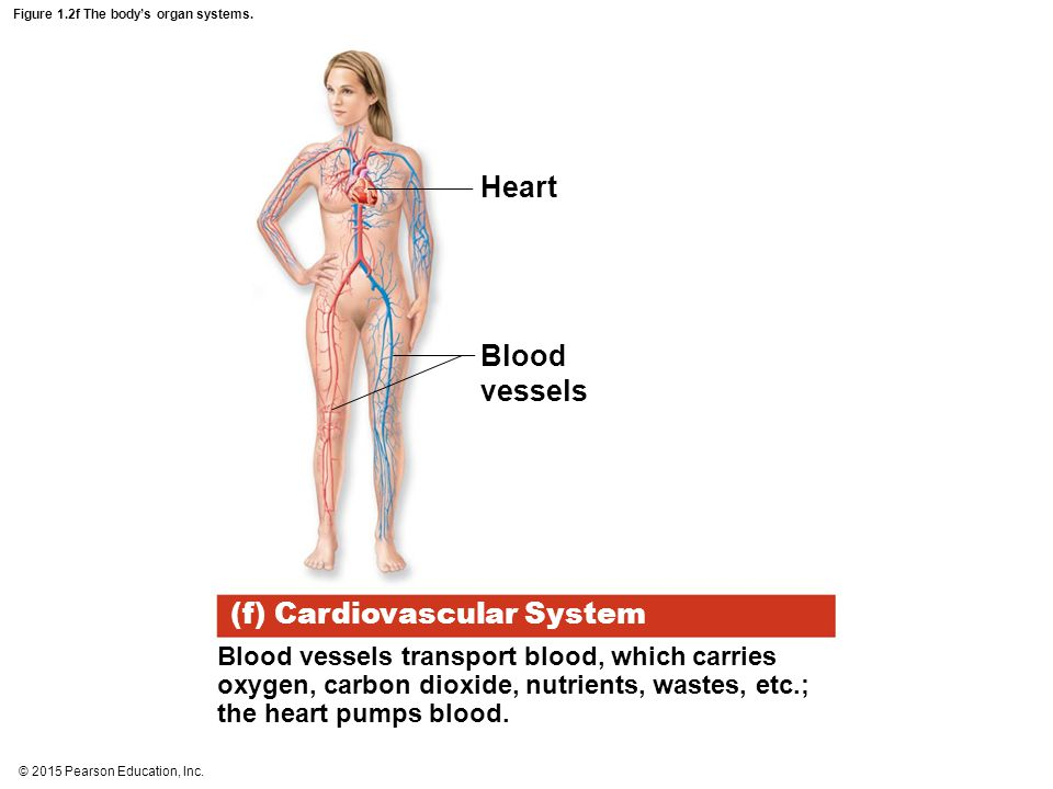 Figure 1.2f The body's organ systems.