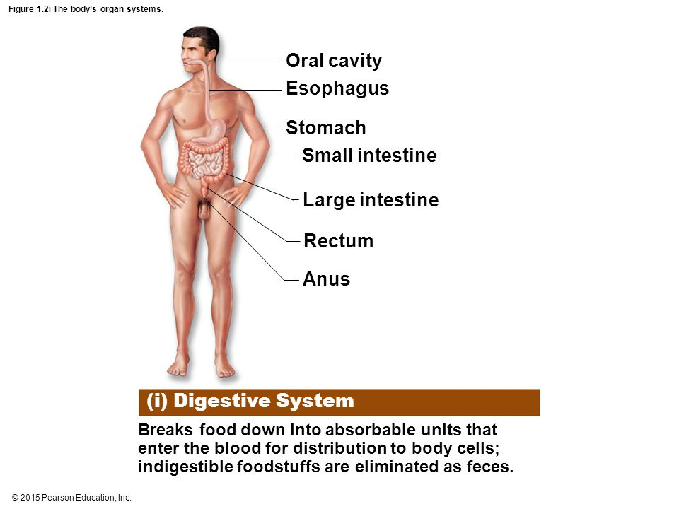Figure 1.2i The body's organ systems.