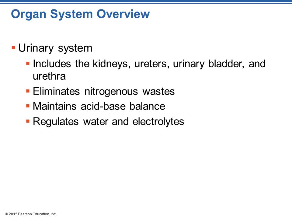 Organ System Overview Urinary system