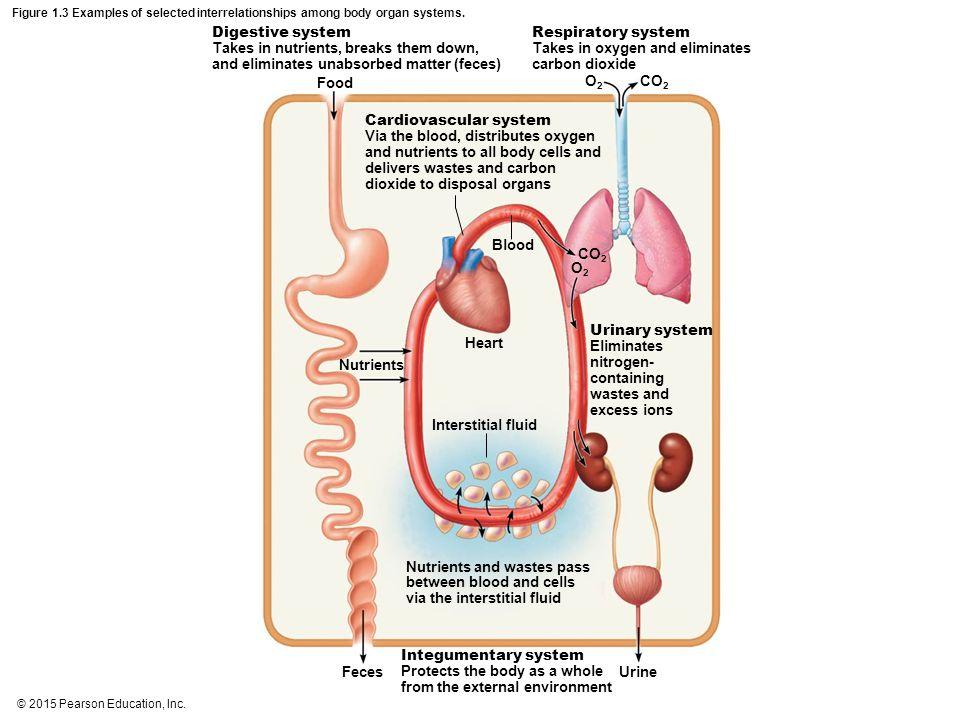 Food Blood Heart Interstitial fluid Feces Urine