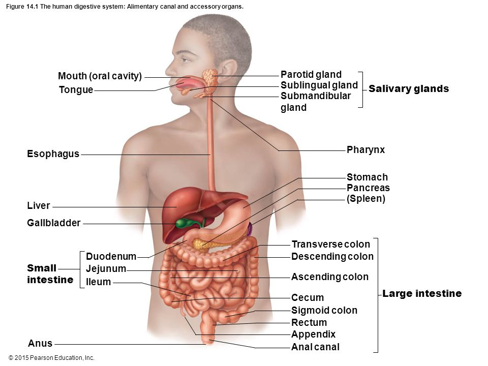 Mouth (oral cavity) Parotid gland Sublingual gland Tongue