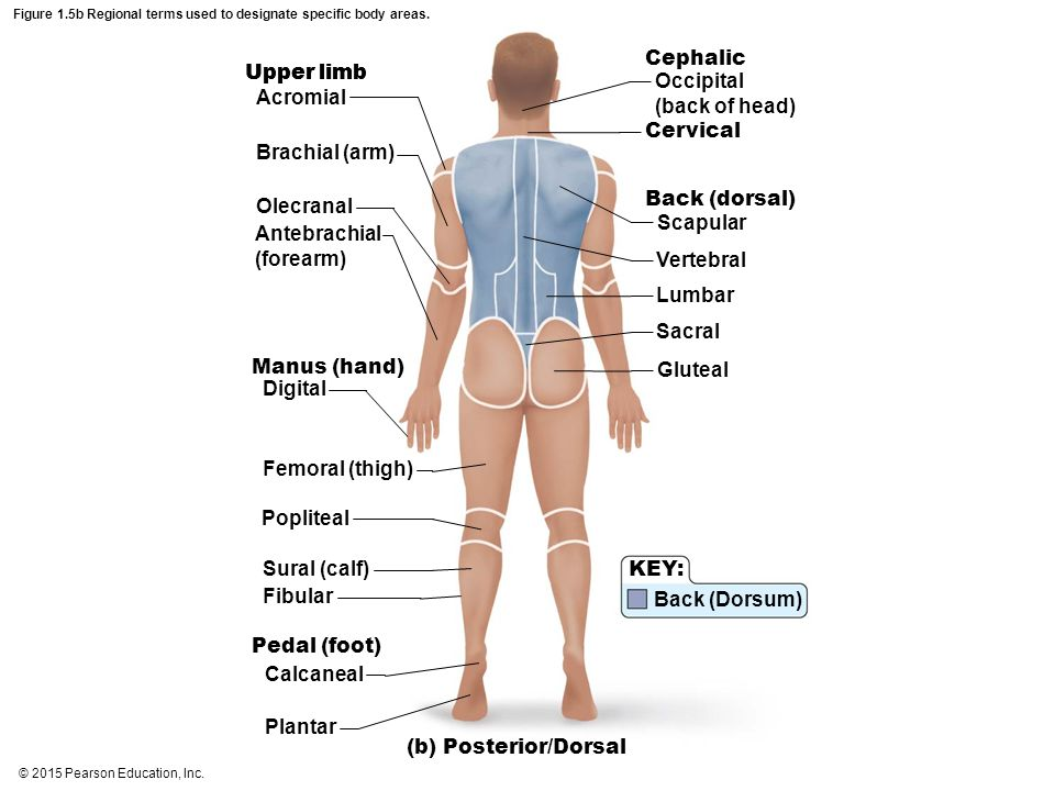 Figure 1.5b Regional terms used to designate specific body areas.