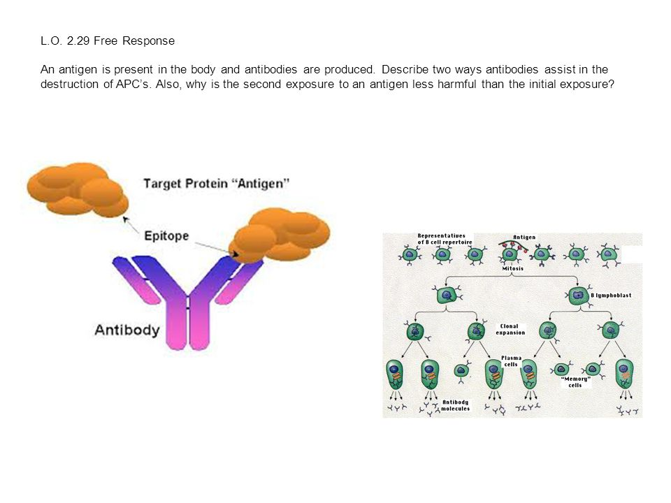 L.O. 2.29 Free Response An antigen is present in the body and antibodies are produced.