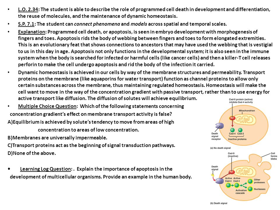 L.O. 2.34: The student is able to describe the role of programmed cell death in development and differentiation, the reuse of molecules, and the maintenance of dynamic homeostasis.