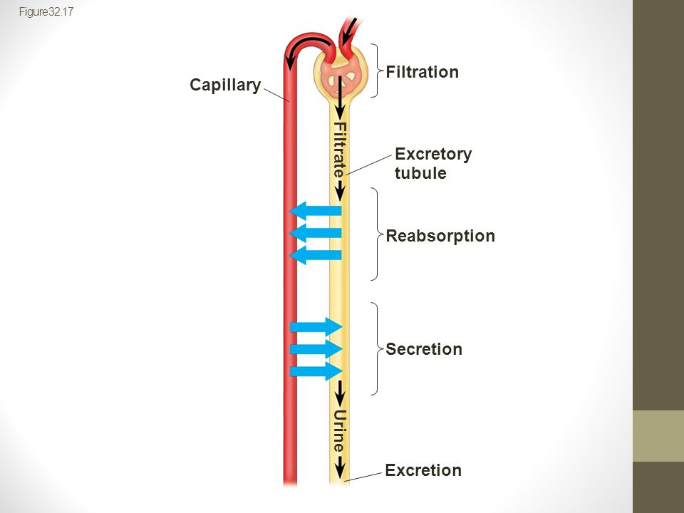 Filtration Capillary Filtrate Excretory tubule Reabsorption Secretion