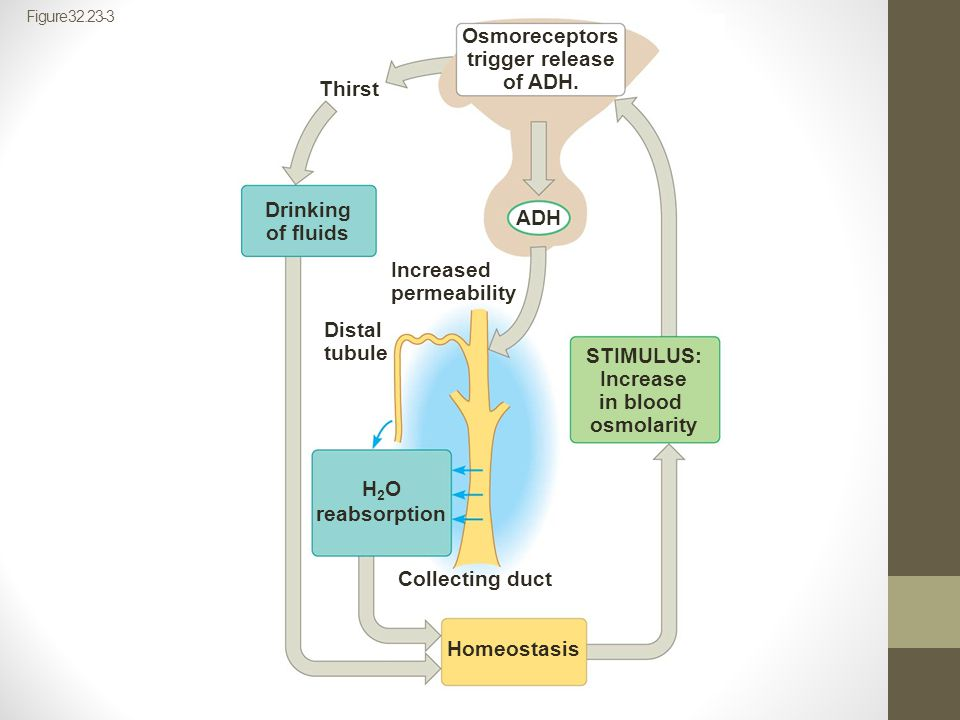Osmoreceptors trigger release of ADH. Thirst Drinking ADH of fluids