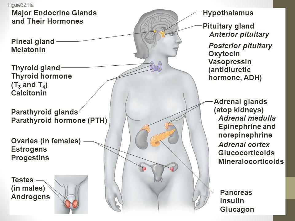 Major Endocrine Glands and Their Hormones Hypothalamus