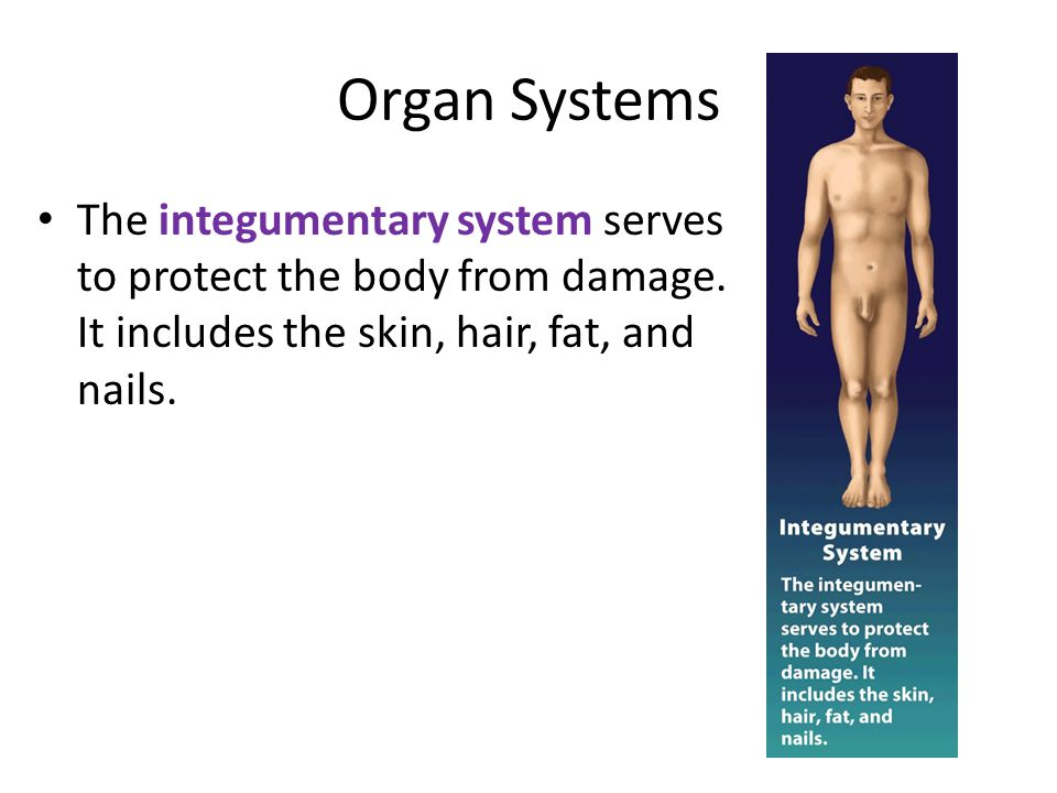 Organ Systems The integumentary system serves to protect the body from damage.