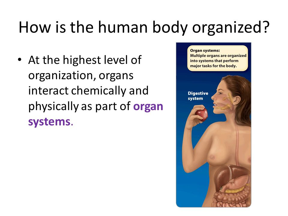 How is the human body organized