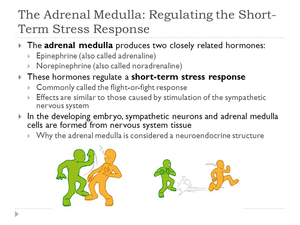 The Adrenal Medulla: Regulating the Short-Term Stress Response